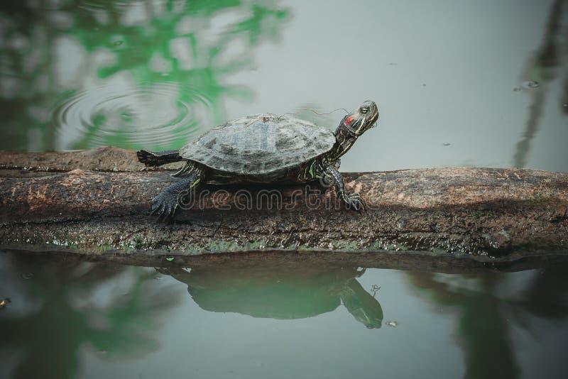 Η συνεδρίαση χελωνών στην ξυλεία στοκ εικόνα