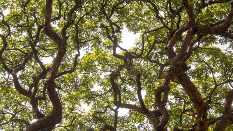 Η σύγκρουση του θόλου δύο των δέντρων ακακιών στοκ φωτογραφίες
