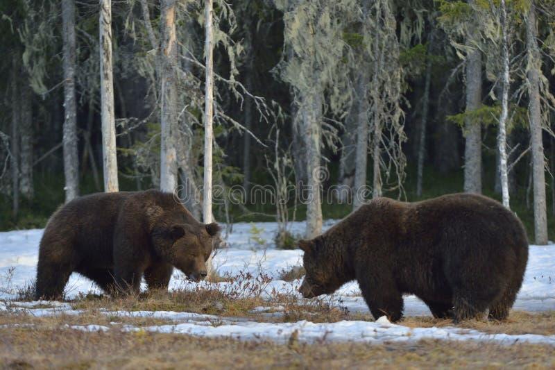 Η σύγκρουση δύο καφετιών αρκούδων για την κυριαρχία στοκ εικόνα με δικαίωμα ελεύθερης χρήσης