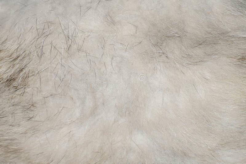 Η σύσταση της γκρίζας κοιλιάς αλεπούδων μαλλιού στοκ εικόνα με δικαίωμα ελεύθερης χρήσης