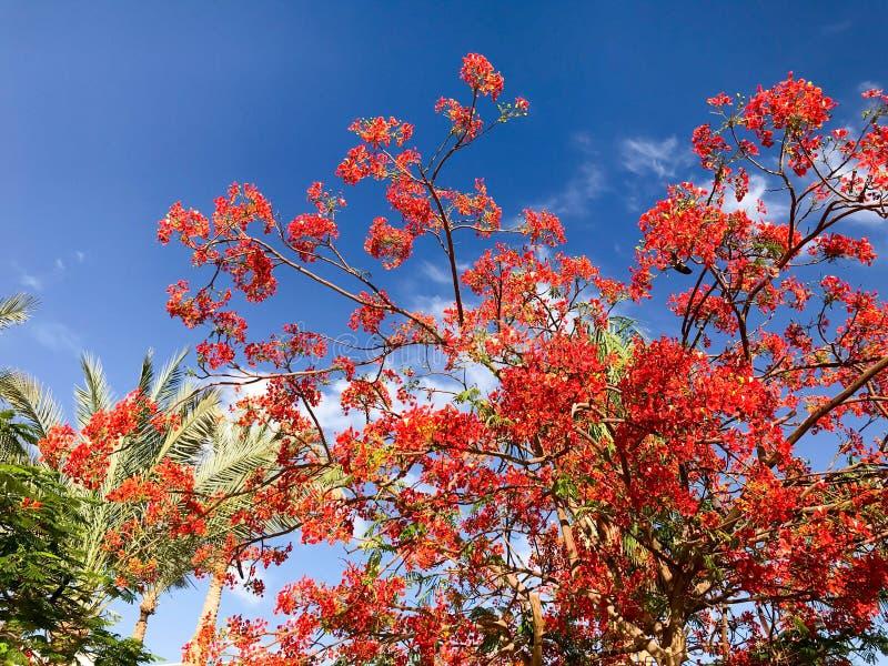 Η σύσταση του καυσόξυλου delonix με τα κόκκινα τρυφερά όμορφα φυσικά φύλλα με τα πέταλα των λουλουδιών, κλάδοι τροπικού ενός εξωτ στοκ εικόνα με δικαίωμα ελεύθερης χρήσης