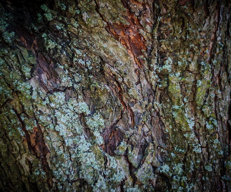 Η σύσταση του παλαιού δασικού υποβάθρου πεύκων του φλοιού δέντρων στοκ φωτογραφία