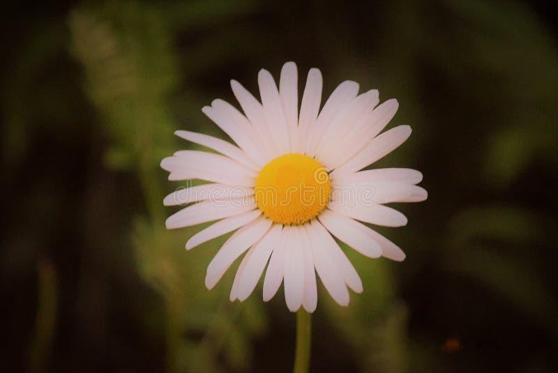 Η τέλεια άσπρη & κίτρινη Daisy!!! στοκ εικόνες