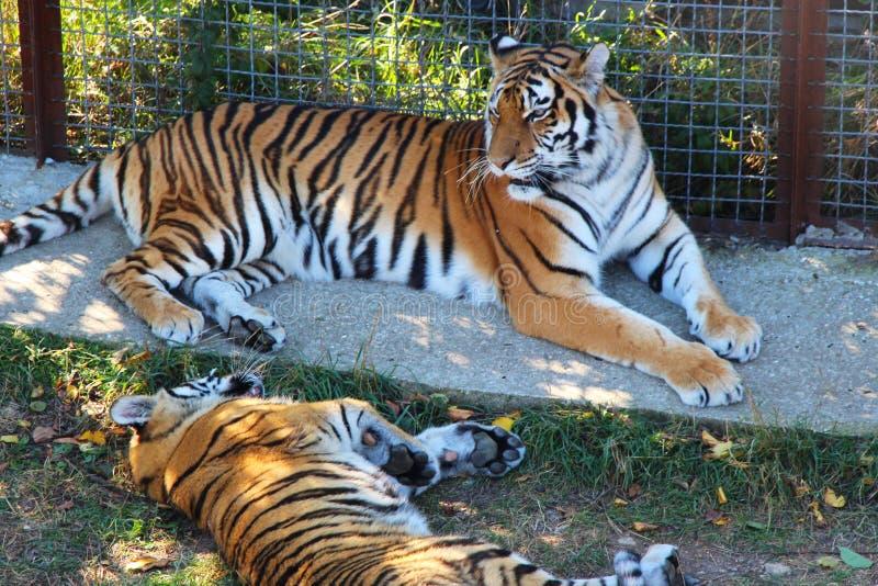 Η τίγρη βρίσκεται δίπλα cub τιγρών στοκ φωτογραφία με δικαίωμα ελεύθερης χρήσης
