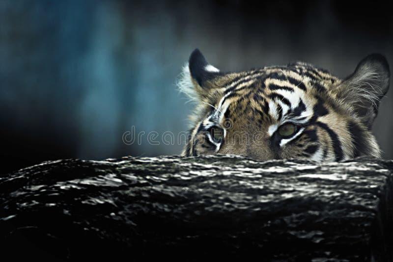 Η τίγρη βρίσκεται στην αναμονή στοκ φωτογραφία με δικαίωμα ελεύθερης χρήσης