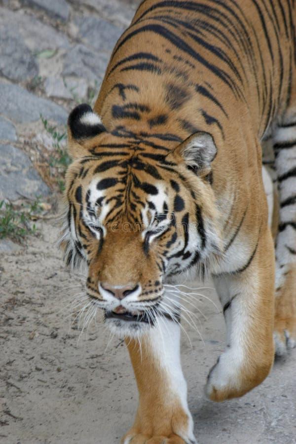 η τίγρη πηγαίνει imposingly στη συγκεκριμένα πορεία και τα υπόλοιπα, μια όμορφη ισχυρή μεγάλη γάτα τιγρών στο υπόβαθρο του καλοκα στοκ εικόνες