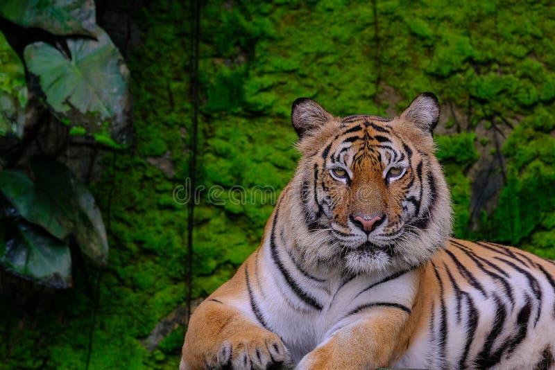 Η τίγρη της Βεγγάλης στο δάσος παρουσιάζει κεφάλι στοκ εικόνα με δικαίωμα ελεύθερης χρήσης