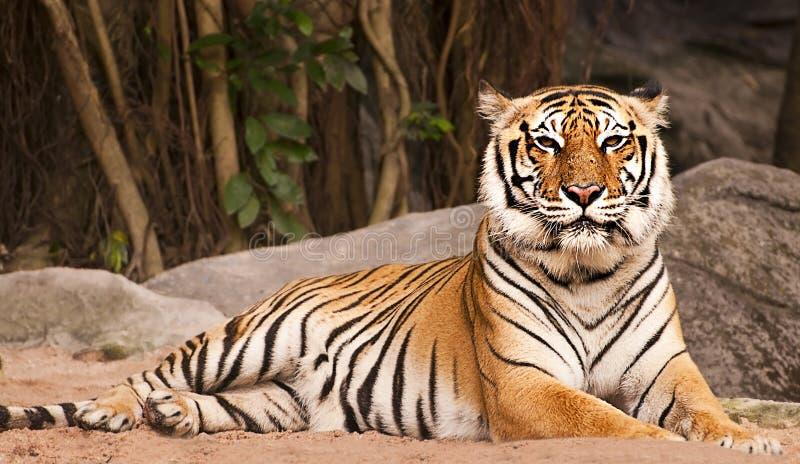 Η τίγρη της Βεγγάλης στο δάσος παρουσιάζει το κεφάλι και πόδι στοκ εικόνες