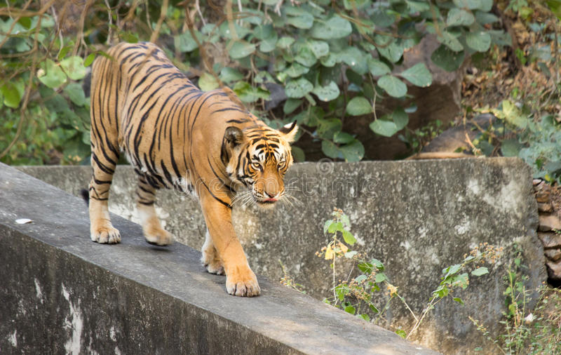 Η τίγρη της Βεγγάλης στοκ φωτογραφίες με δικαίωμα ελεύθερης χρήσης