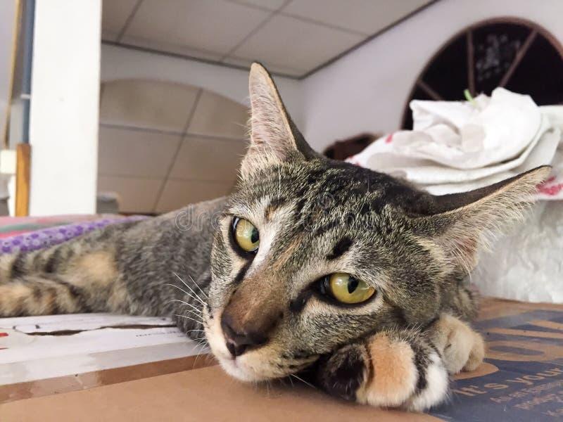 Η ταϊλανδική γάτα είναι μια χαριτωμένη γάτα, κοιμάται o στοκ φωτογραφίες