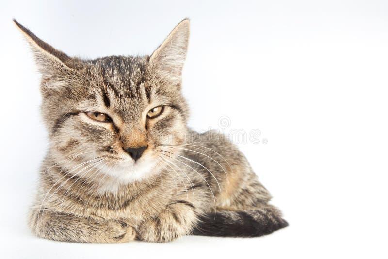 Η τιγρέ γάτα πονηριών παρεκκλίνεται τα μάτια του στοκ φωτογραφία με δικαίωμα ελεύθερης χρήσης