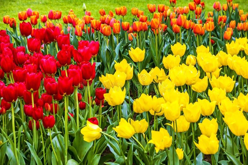 Η τουλίπα ανθίζει τον τομέα, κόκκινο, κίτρινος και πορτοκαλής, κήπος Keukenhof, Ν στοκ φωτογραφίες με δικαίωμα ελεύθερης χρήσης