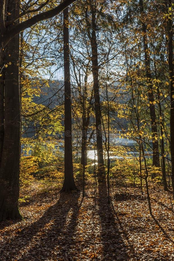 η τράπεζα φθινοπώρου χρωματίζει το γερμανικό δέντρο ποταμών του Ρήνου κίτρινο στοκ εικόνες