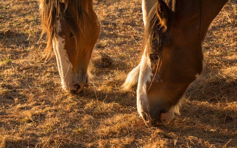 Ταΐζοντας άλογα Droght στοκ εικόνες με δικαίωμα ελεύθερης χρήσης