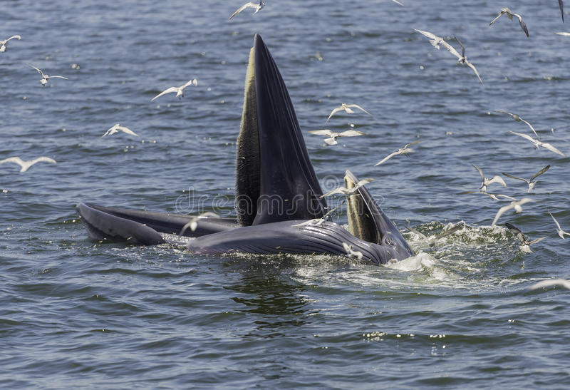Η φάλαινα ανοίγει το στόμα για να φάει τα μικρά ψάρια στοκ φωτογραφία με δικαίωμα ελεύθερης χρήσης