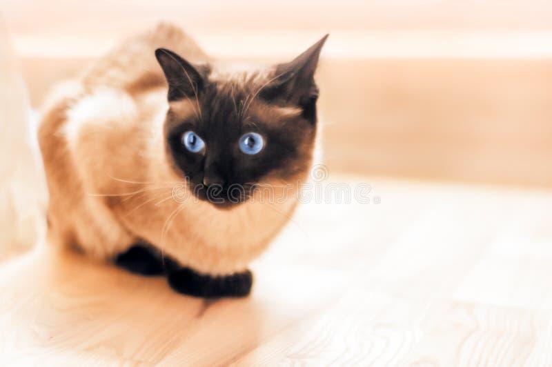 Η φοβησμένη σιαμέζα γάτα χαλαρώνει στοκ εικόνες