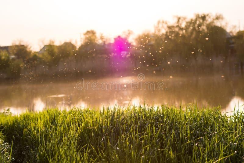 Η φρέσκια πράσινη χλόη στο θερμό φως στα πλαίσια του ποταμού και του ηλιοβασιλέματος, midges πετά στοκ φωτογραφίες
