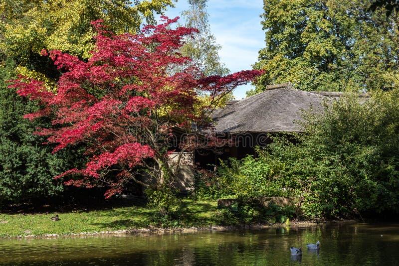 Η φραγμός-διευθυνμένη χήνα, indicus Anser που βλέπει στον αγγλικό κήπο στο Μόναχο στοκ φωτογραφία