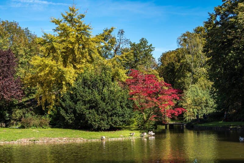 Η φραγμός-διευθυνμένη χήνα, indicus Anser που βλέπει στον αγγλικό κήπο στο Μόναχο στοκ εικόνα