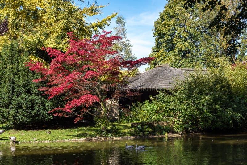 Η φραγμός-διευθυνμένη χήνα, indicus Anser που βλέπει στον αγγλικό κήπο στο Μόναχο στοκ εικόνες