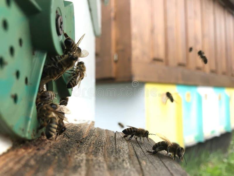 Η φτερωτή μέλισσα πετά αργά στην κυψέλη συλλέγει το νέκταρ για το μέλι στοκ εικόνες