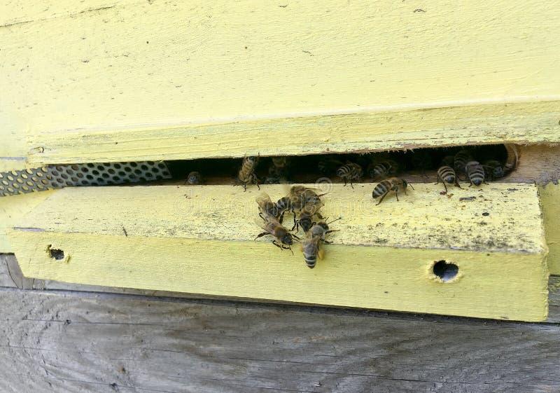Η φτερωτή μέλισσα πετά αργά στην κυψέλη συλλέγει το νέκταρ στο ιδιωτικό μελισσουργείο στοκ φωτογραφίες με δικαίωμα ελεύθερης χρήσης
