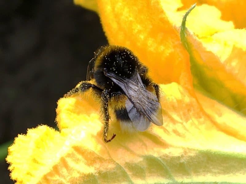Η φτερωτή μέλισσα πετά αργά στις εγκαταστάσεις στοκ φωτογραφία με δικαίωμα ελεύθερης χρήσης