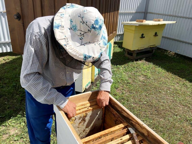 Η φτερωτή μέλισσα πετά αργά στο μελισσοκόμο συλλέγει το νέκταρ στοκ εικόνα