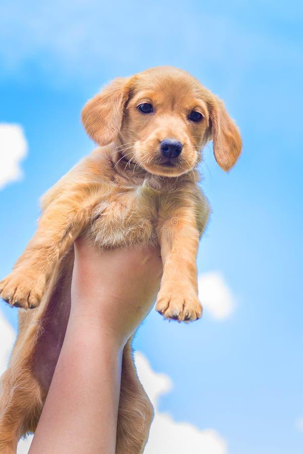 Η φυλή κουταβιών ανελκυστήρων αγοριών επάνω υψηλή του σπανιέλ κόκερ Μικρό σκυλί στα πλαίσια του ανοικτό μπλε sky_ στοκ φωτογραφίες με δικαίωμα ελεύθερης χρήσης