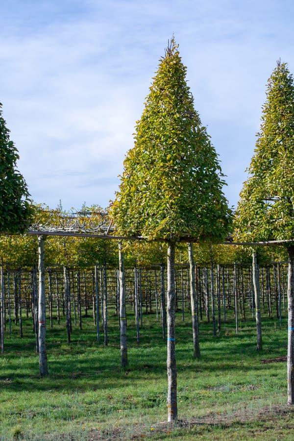Η φυτεία υψηλού διακοσμητικού τα διακοσμητικά δέντρα αυξανόμενος στον ολλανδικό βρεφικό σταθμό στοκ εικόνα