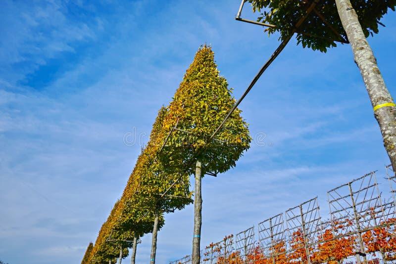 Η φυτεία υψηλού διακοσμητικού τα διακοσμητικά δέντρα αυξανόμενος στον ολλανδικό βρεφικό σταθμό στοκ φωτογραφίες με δικαίωμα ελεύθερης χρήσης