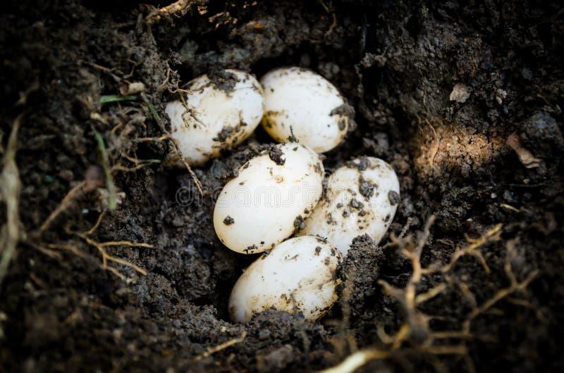 Χελώνα eggs1 στοκ φωτογραφίες