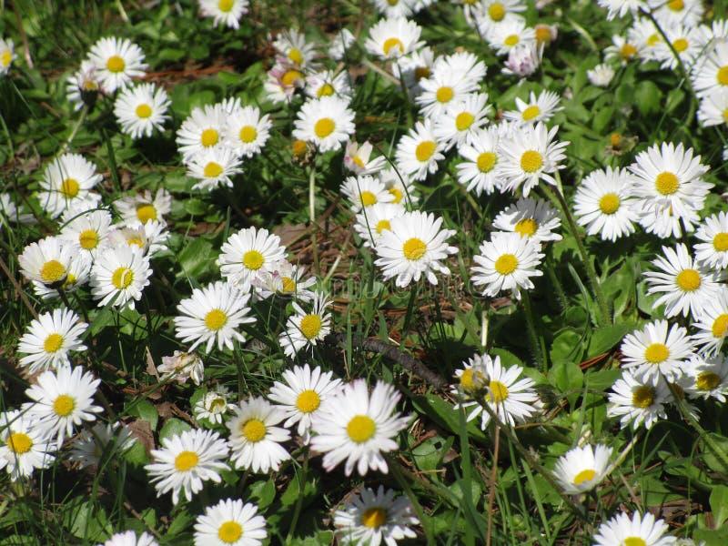 Η φωτεινή ελκυστική φύση η φίνη ζωηρόχρωμη άσπρη και κίτρινη κοινή Daisy ανθίζει τον τομέα που ανθίζει την άνοιξη στοκ φωτογραφία με δικαίωμα ελεύθερης χρήσης