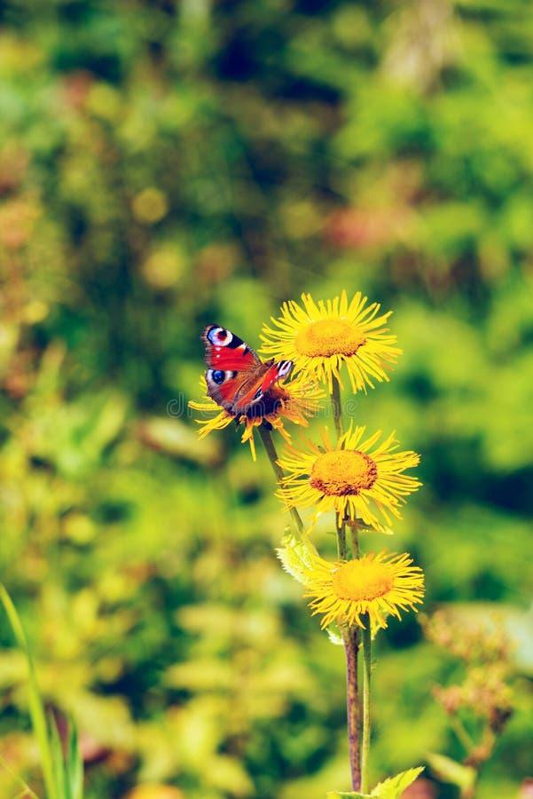 Η φωτεινή πεταλούδα κάθεται στα κίτρινα wildflowers στοκ εικόνες
