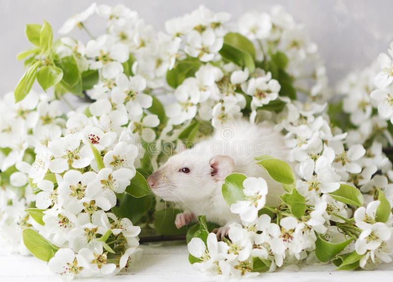 Η φωτογραφία κινηματογραφήσεων σε πρώτο πλάνο λίγου χαριτωμένου άσπρου αρουραίου στο όμορφο ανθίζοντας δέντρο κερασιών διακλαδίζε στοκ εικόνες με δικαίωμα ελεύθερης χρήσης
