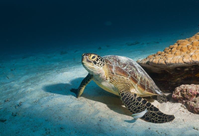 Η φωτογραφία χελωνών επίασα υποβρύχιο στις Μαλδίβες, τα πτερύγια και η πλάτη είναι απολαυστικά διαμορφωμένα στοκ φωτογραφία με δικαίωμα ελεύθερης χρήσης