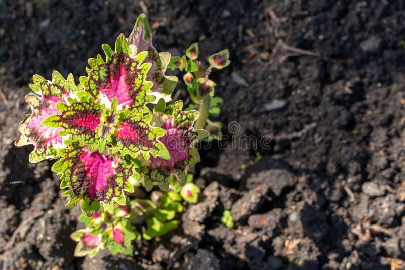 Η φωτογραφία coleus βγάζει φύλλα στον κήπο στοκ φωτογραφίες