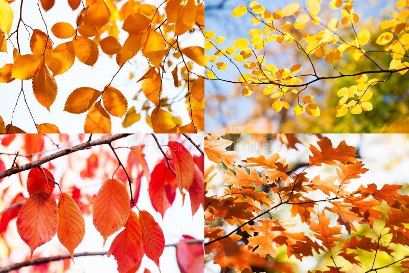 Η φύση φθινοπώρου χρωματίζει το κολάζ Κίτρινα κόκκινα πορτοκαλιά φύλλα, φύση εποχής πτώσης στο πάρκο στοκ εικόνες με δικαίωμα ελεύθερης χρήσης