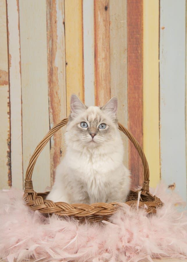 Η χαριτωμένη γάτα ragdoll με τα μπλε μάτια που εξετάζουν τη συνεδρίαση καμερών σε ένα καλάθι καλάμων σε μια κρητιδογραφία χρωμάτι στοκ εικόνα με δικαίωμα ελεύθερης χρήσης