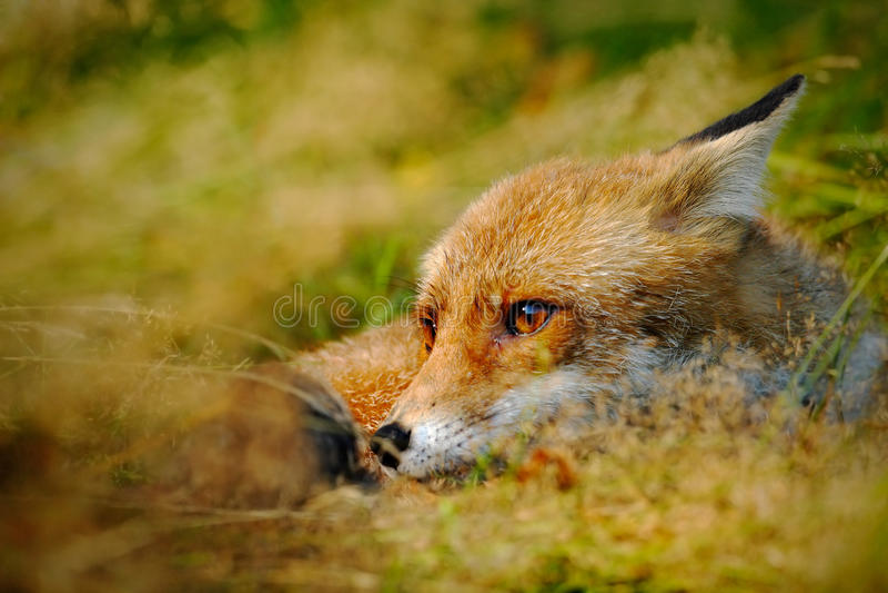 Η χαριτωμένη κόκκινη αλεπού, Vulpes vulpes, ζώο στο πράσινο δάσος με τις πέτρες, στο βιότοπο φύσης, απαριθμεί το επικεφαλής πορτρ στοκ εικόνα με δικαίωμα ελεύθερης χρήσης