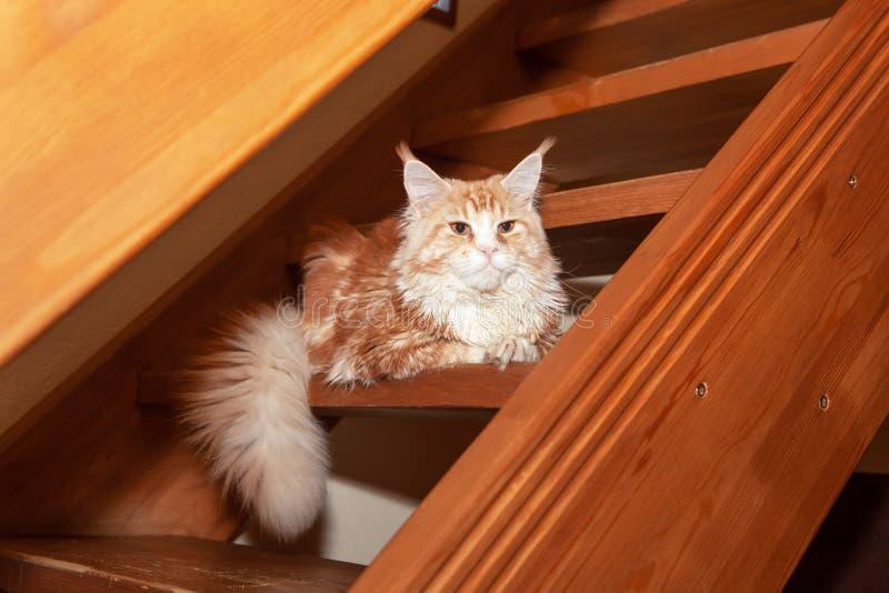 Η χαριτωμένη κόκκινη γάτα του Μαίην Coon βρίσκεται στα βήματα των ξύλινων σκαλοπατιών στο εξοχικό σπίτι Σπάνια κατοικίδια ζώα ένν στοκ εικόνες με δικαίωμα ελεύθερης χρήσης