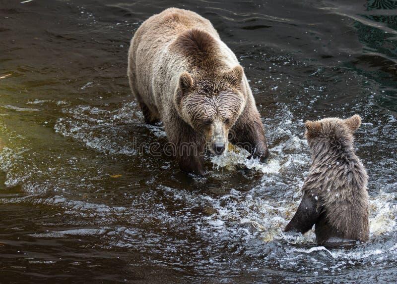 Η χαριτωμένη οικογένεια της καφετιάς μητέρας αρκούδων αντέχει και το μωρό της που παίζει στο σκοτεινό νερό Beringianus arctos Urs στοκ εικόνα