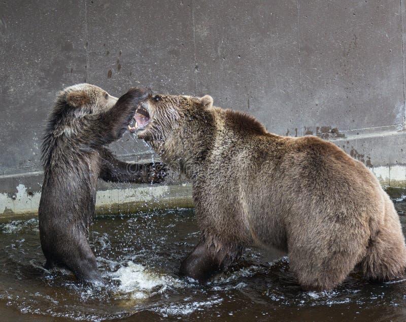 Η χαριτωμένη οικογένεια της καφετιάς μητέρας αρκούδων αντέχει και το μωρό της που παίζει στο σκοτεινό νερό Beringianus arctos Urs στοκ φωτογραφία