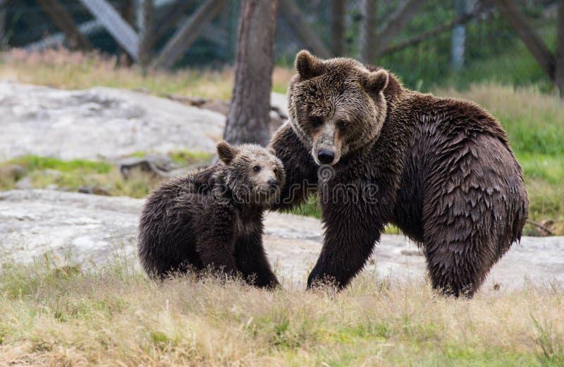 Η χαριτωμένη οικογένεια της καφετιάς μητέρας αρκούδων αντέχει και cub μωρών της το παιχνίδι στη χλόη Beringianus arctos Ursus r στοκ εικόνες