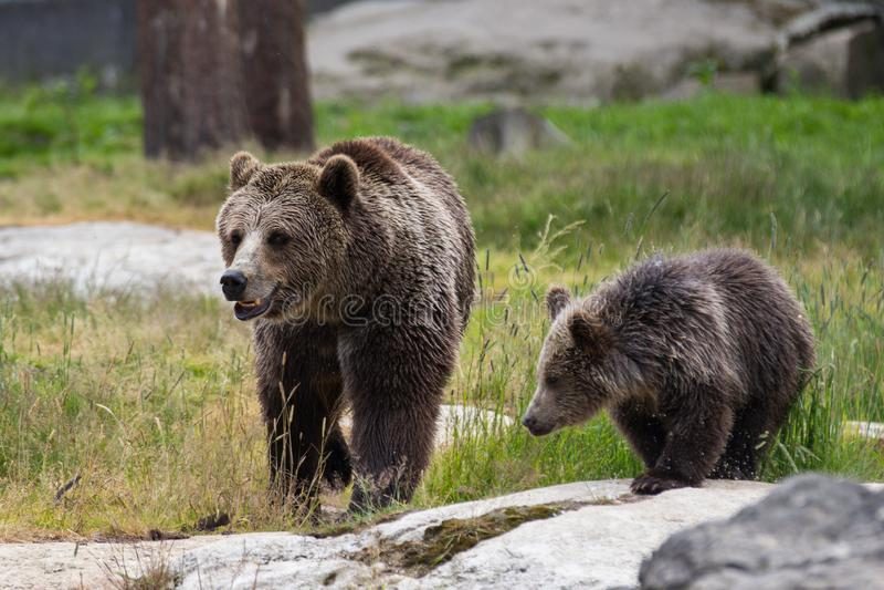 Η χαριτωμένη οικογένεια της καφετιάς μητέρας αρκούδων αντέχει και cub μωρών της το παιχνίδι στη χλόη Beringianus arctos Ursus r στοκ φωτογραφίες