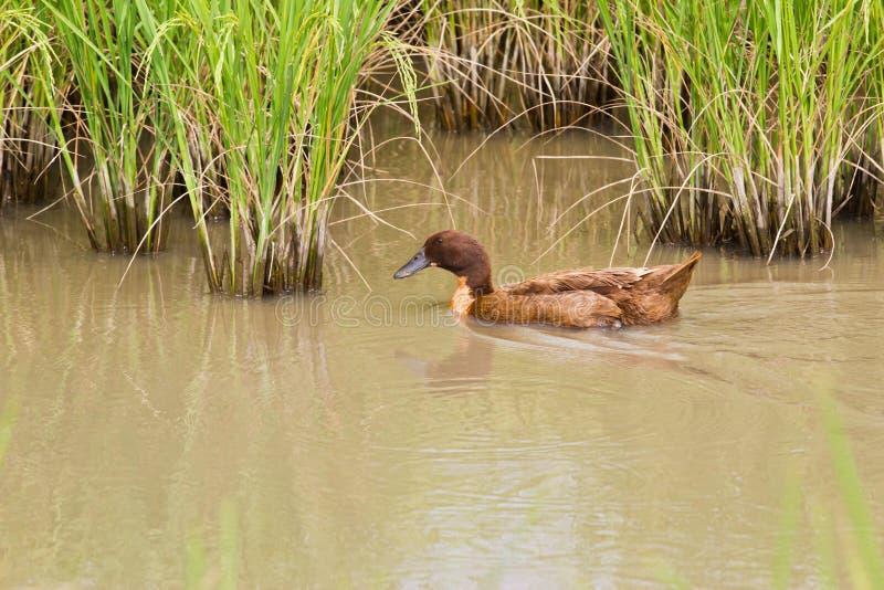 Η χαριτωμένη πάπια κολυμπά στον τομέα ρυζιού στοκ εικόνα