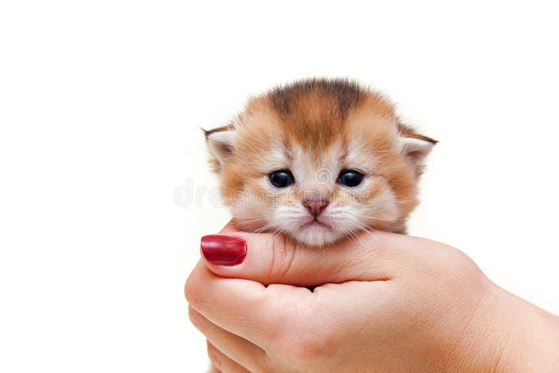 Η χαριτωμένη χρυσή βρετανική συνεδρίαση γατακιών στο χέρι μιας γυναίκας σε ένα λευκό απομόνωσε το υπόβαθρο έτσι φαίνεται από το μ στοκ φωτογραφία με δικαίωμα ελεύθερης χρήσης