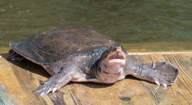 Η χελώνα Sofshell στενεύει το πάρκο φύσης στοκ εικόνες