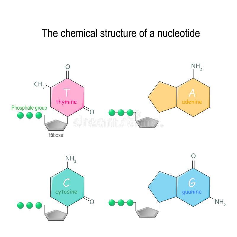 Η χημική δομή μιας νουκλεοτίδας τέσσερις κύριες βάσεις που βρίσκονται στο DNA: αδενίνη, κυτοσίνη, γουανίνη, και thymine Ομάδα φωσ απεικόνιση αποθεμάτων