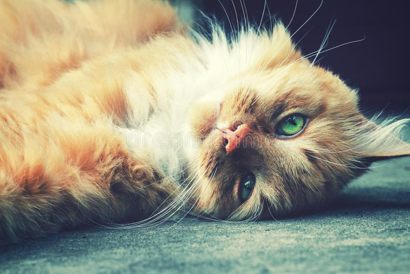 η χνουδωτή γάτα πιπεροριζών καθορίζει στο έδαφος στοκ εικόνες με δικαίωμα ελεύθερης χρήσης